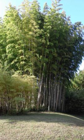 les bambous immenses
