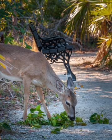 Un Key deer très amical