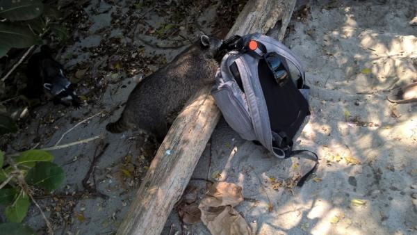 Raton-laveur sur la plage