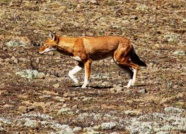 Un exemplaire du Loup d'Abyssinie sur les 400 survivants
