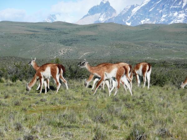 Guanacos dans le Parc de Torres del Paine
