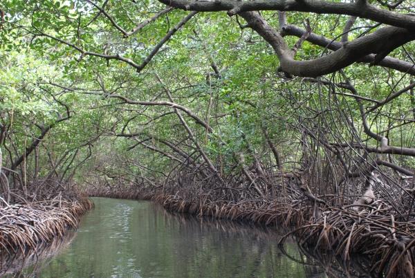 Les mangroves. Nous y avons rencontré un paresseux...
