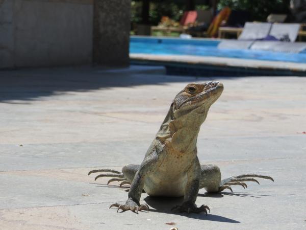 Iguane qui viennent vous voir à l'heure de l'apéro!