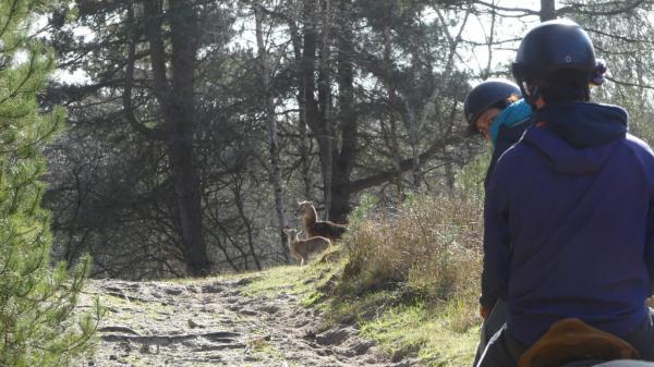 Randonnée dans le Domaine du Marquenterre Mouflons observés à l'occasion de la balade à cheval