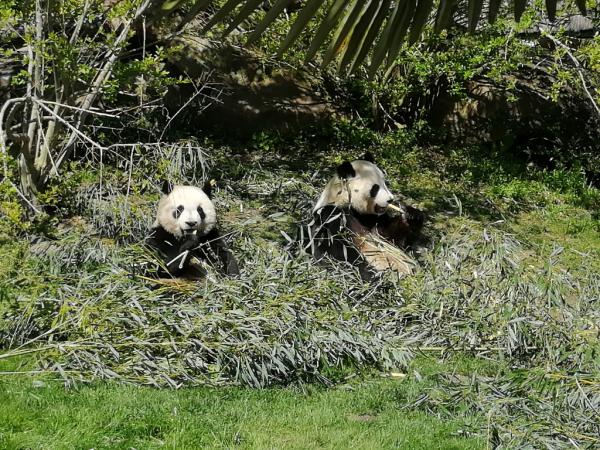 Les pandas stars du zoo
