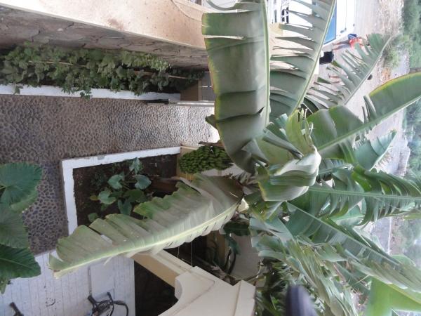 Vue du balcon sur le bananier de Serge et Catherine