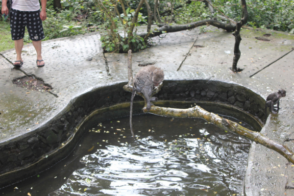 baignade des singes, super moment