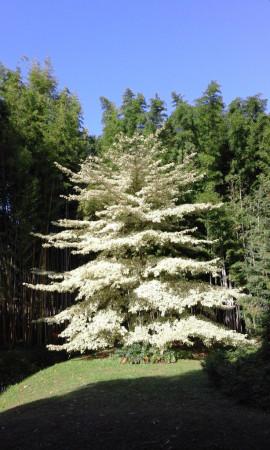 un arbre aux feuilles argentées