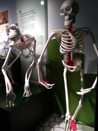 Tête de T-Rex, Musée national d'Histoire Naturelle, Luxembourg, 2019, SB.