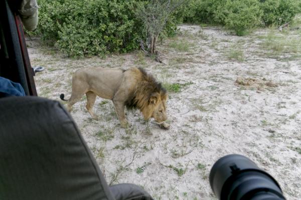histoire de voir la proximité des lions !