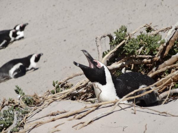 Manchot à Boulders Beach