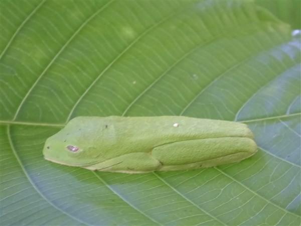 la grenouille aux yeux rouges passe totalement inaperçue en plein jour, découverte sous une feuille grâce à la guide