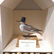Oiseau à chapeau, Musée national d'Histoire Naturelle, Luxembourg, 2019, SB.