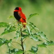 le cardinal . Les ballades en charrettes favorisent l'observation des oiseaux