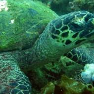 Tortue verte Green turtle