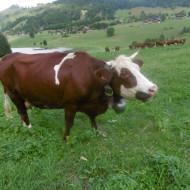 vache en parairie