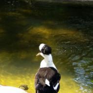 Un canard avec chapeau:)