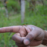 plus petit caméléon du monde!