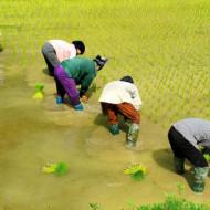 les femmes plantant le riz au nord