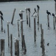 Cormorans et goélands
