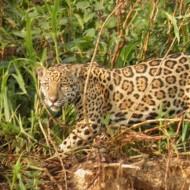 l'un des 8 jaguars que nous avons admirés