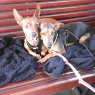 les chiens dans le train