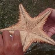 une étoile de mer guadeloupéenne
