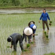 Les habitants travaillent dans la rizières