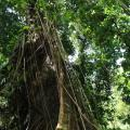 Arbre gigantesque qui orne le parcours ...une vraie forêt amazonienne