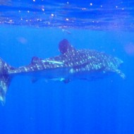 Requin baleine Whale shark