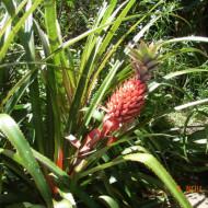 Ananas fleur