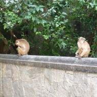 les singes de la montée