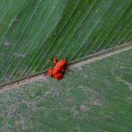 petite grenouille(adulte)