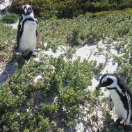 Les pingouins de Boulders