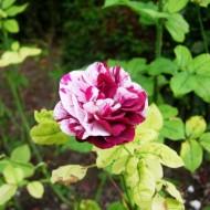 La roseraie