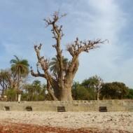 Baobab majestueux